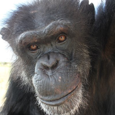 save the chimps savethechimps twitter