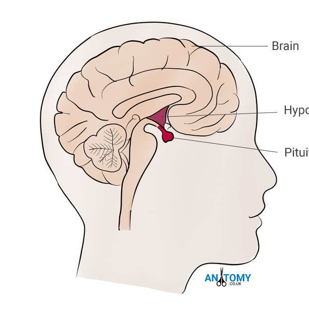 Pituitary Gland Pituitary1011 Twitter