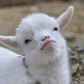 100% Goats