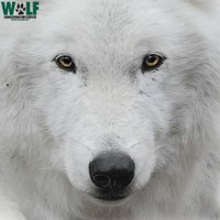 Wolf Conservation Center ( @nywolforg ) Twitter Profile