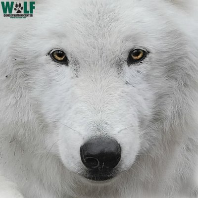 "Wolf Conservation Center on Twitter: ""Good morning! #FridayFeeling 🐺… """