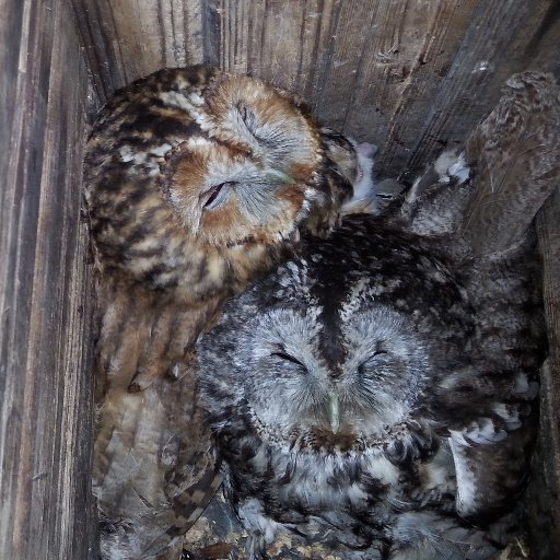 Evolutionary Ecology of Colour in Owls