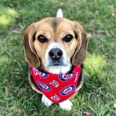 Nigel the Beagle  🇺🇸