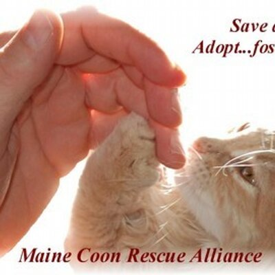 Maine Coon Rescue (@MaineCoonRescue) | Twitter