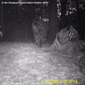 FIRST video of wild Amur tigers in China! Until now footprints were only indicator. More: http://t.co/snfvWFlxmR http://t.co/wkxE5opFGw