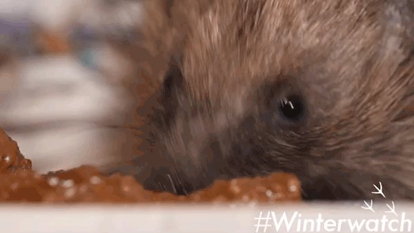 Please don't feed hedgehogs bread or milk! Bread bungs them up and they're lactose intolerant #Winterwatch https://t.co/8dBFeoAlGD