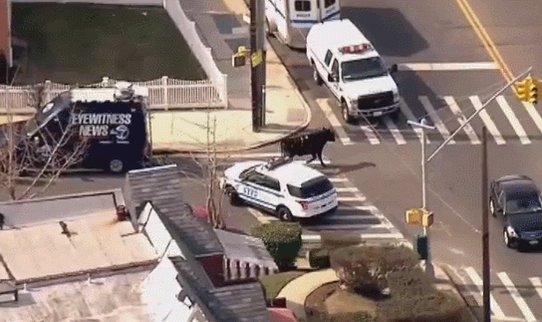 THE COW IS RUNNING DOWN THE STREET