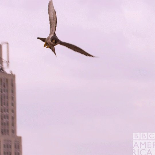 New York City has the highest density of nesting peregrines falcons in...