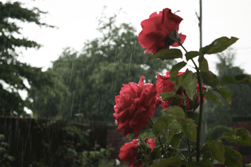 imagine rose petals opening touching spring rain  #haiku #micropoetry http://t.co/l7ESGd5ey0