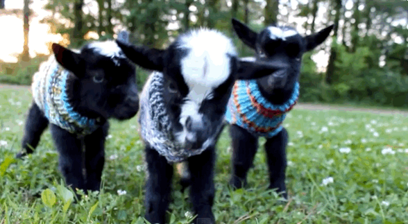 Baby Goats in Tiny Sweaters puts us in a good mood. http://t.co/ekmVfg4Svf http://t.co/2MigBAddbM