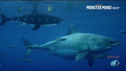 Pregnant Sharks 71