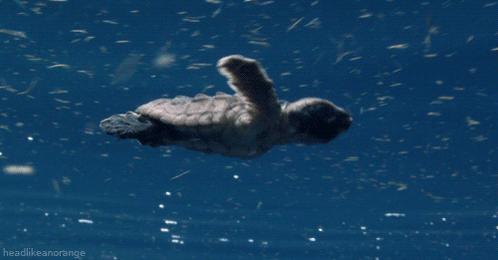 Los invitamos a utilizar el HT #Tortugatón y apoyar este movimiento para la preservación de la especie. @XcaretPark http://t.co/uHDKbgVMOl