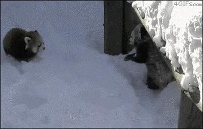 レッサーパンダのガチ喧嘩は反則級の可愛らしさ。  #心が乱れた時に見るgif