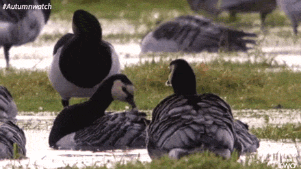 RT @cbbc: We've been loving #Autumnwatch on @BBCTwo this week. Look at this barnacle goose doing a roly poly! @BBCSpringwatch https://t.co/…