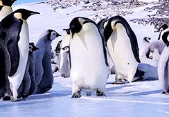 """慣れない雪道を歩くときは、小さな歩幅でペタペタ歩く「ペンギン歩き」が有効。来る積雪に備え、しっかりイメージトレーニングをしておきましょう!!!  """"ペンギンに学ぶ雪道の歩き方"""" https://t.co/cGUkSc2ZQg"""