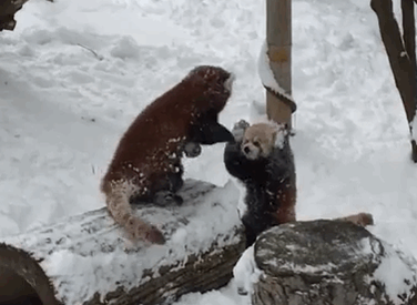 can't watch debate rn making red pandas dance in the snow cc @darth https://t.co/B1KFTz9yXR