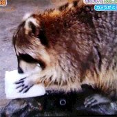 アライグマに綿菓子あげたGIFが何回見ても泣ける pic.twitter.com/gFBHRxcUJb