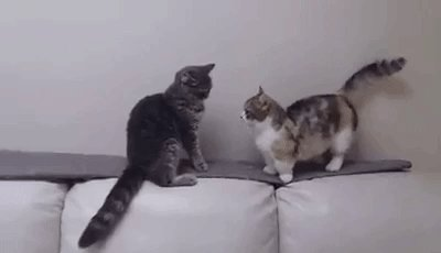 圧倒的に不利!マンチカンと普通のネコの戦いが可愛い temita.jp/necogori/29950 @Temitajpさんから pic.twitter.com/8V6GevXOQw