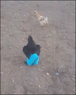 galinha de  bermuda https://t.co/4eLGedTPjM