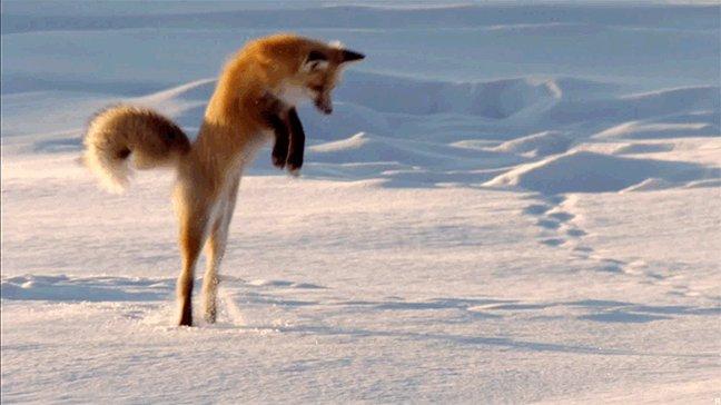Гифка лиса прыгает