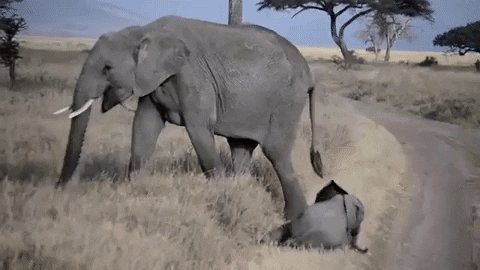 Baby elephants are known to throw temper tantrums when frustrated or tired.