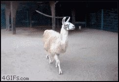 @Shoelais @chrissyteigen It's this llama! https://t.co/FR0XhUncpA