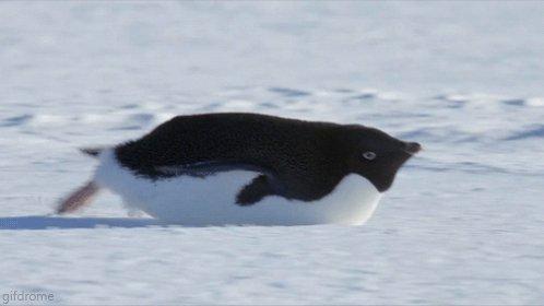 アデリーペンギンの氷上スキー。。 めっちゃ足使ってるやん。 https://t.co/CKwTW2kCat