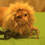 RT @Sus_mundos: Hasta los gatos quieren ser leones...