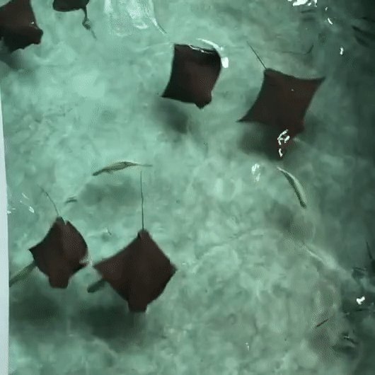 Our beautiful cownose rays—just one of 1,200 species of sharks & rays that have evolved over the past, oh, 400 million years. #SharkAwarenessDay