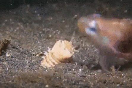 L'Eunice aphroditois est uneespècede ver marinqui fait ~2,5 cm de diamètre et peut mesurer jusqu'à ~3 m de long ! Il chasse en enterrant son long corps dans le fond océanique, puis il attend qu'un stimulus externe touche une de ses cinq antennes pour bondir sur sa proie !
