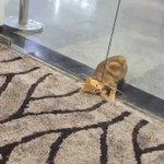 自動ドアから液体みたいに出てきた〜!ぬるっと入る猫が可愛すぎるw