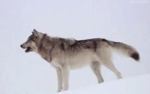 AHHHHOOOOOOOOOOOOOOOO #Twolves #WereBackBaby #RocketsAreGoingDown #WolfPack #HardenWho