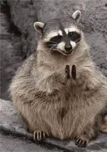 A&E Today's photo on #mpraccoon