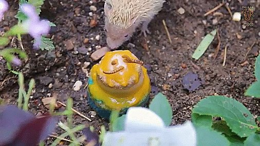 Here is a tiny tenrec at @dallaszoo celebrating his birthday with a tiny cake. youtu.be/4dwXGngEMco