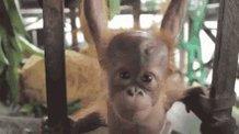 Miss Minnie-xx  - il be back o twitter @_minniemodel orangutanjungleschool,channel4,banpalmoil,savetheorangutan