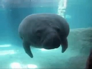 Instead, prefer the dignity of manatees. Their gentle, egalitarian, and fudging adorable. #ManateeStrong #DitchDolphins