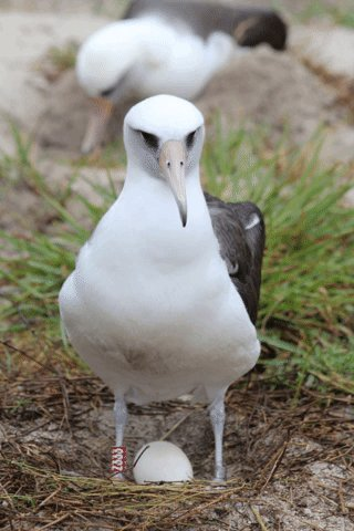 She's Baaaaaack! Wisdom - world's oldest known wild bird-  returned to Midway Atoll NWR on 11/29 and laid an egg! Wisdom was first identified and banded by biologists as an adult in 1956 – making her at LEAST 6⃣8⃣ years old! #Wisdom (1)   https://rebrand.ly/Wisdom18
