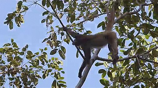 Happy #NationalMonkeyDay! Spider monkeys got their name from the prehensile tails they use to swing from tree to tree, giving them the appearance of a many-legged spider.🐒  Learn more facts about monkeys in our new playlist from #YouTubeLearning: https://goo.gl/7Hbtep.