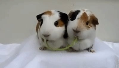 It's illegal to own just one guinea pig in Switzerland because they tend to get lonely.