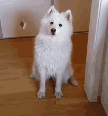 i want to adopt a Samoyed but i also want to see my floor...