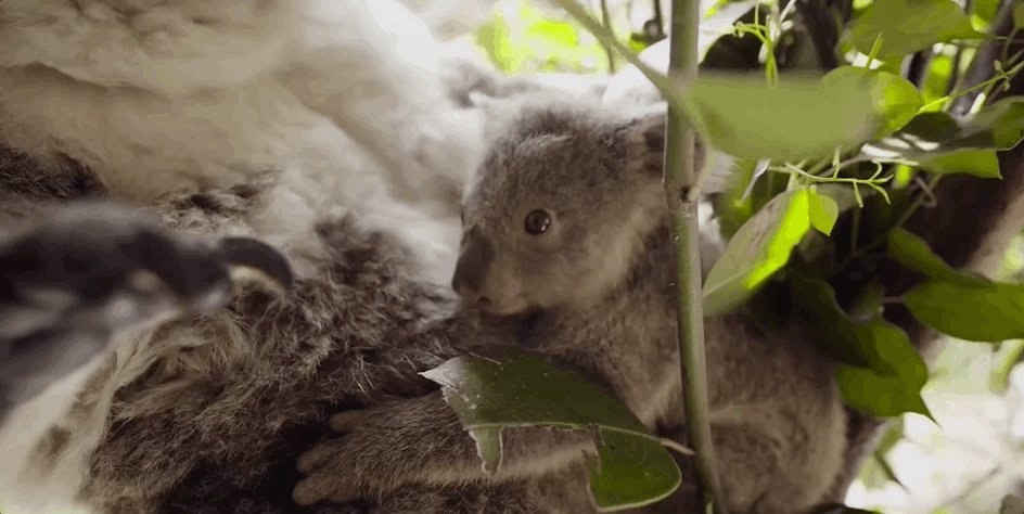 It's so small. 😭  Watch this baby koala's first time out of the pouch. → https://goo.gl/7G3SmA