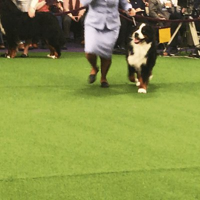 King the wire fox terrier named Westminster's best in show