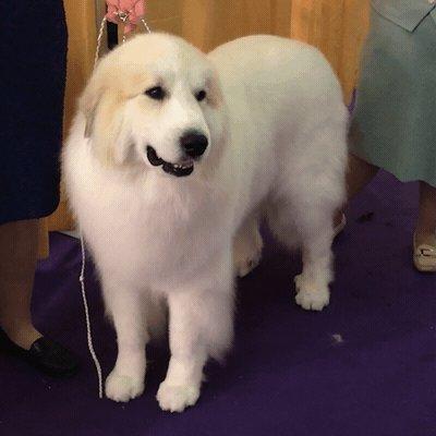 Westminster Dog Show's photo on #WKCDogShow
