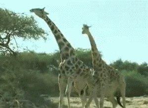 Giraffe Fight!! (It Looks A...