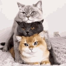 Cat Stacked GIF