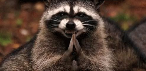 Raccoon Yes GIF