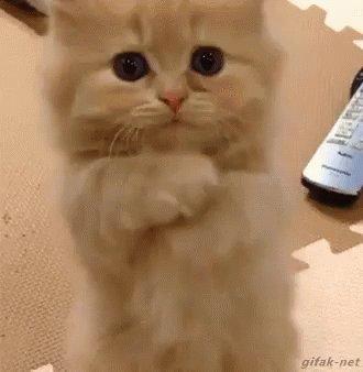 Please Cat GIF