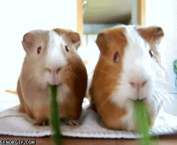 guinea pig eating GIF