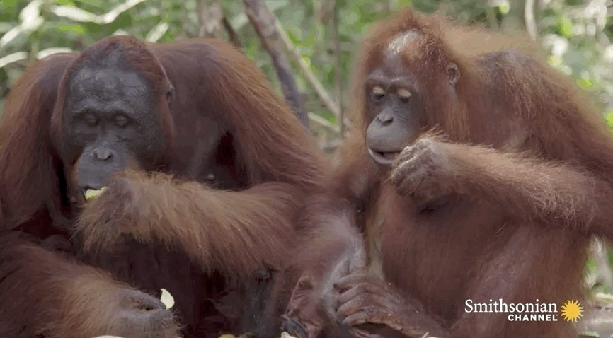 Its #InternationalOrangutanDay ! Celebrate these beautiful creatures with this new series from the @Smithsonian  Channel: Orangutan Jungle School 101 🐒