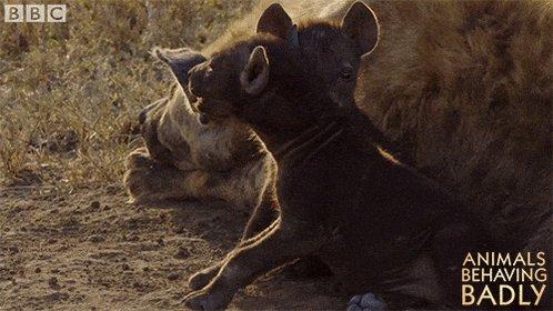 @nyuprimatology @khelgen Oh, so close! But the correct answer is hyena. twitter.com/Mammals_Suck/s…
